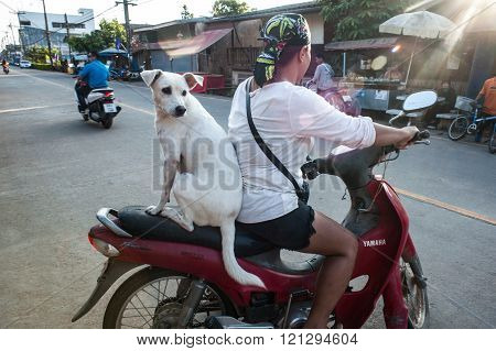 White Mixed Breed Dog Riding As A Passenger In The Back Seat Motorbike