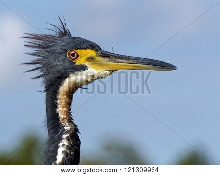 Punk Hairdo Tricolored Heron