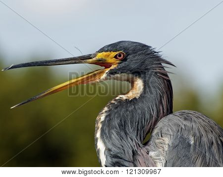 Shout it Out Loud Open Beak Tricolored Heron