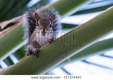 Young Eastern Gray Squirrel looking down from Palm Frond on a Palm Tree