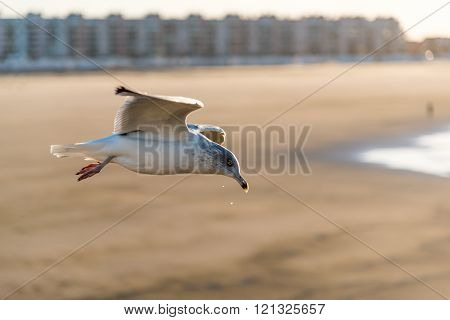 European Herring Gull; at sunset-Larus argentatus, France