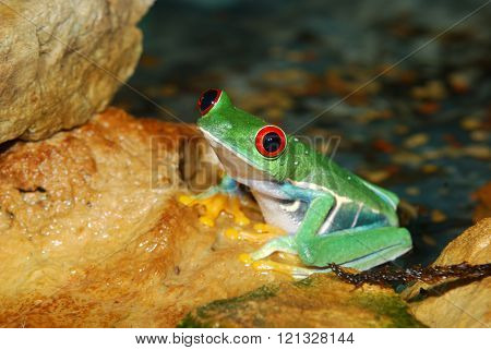 smilling red-eye tree frog Agalychnis callidryas  in nature