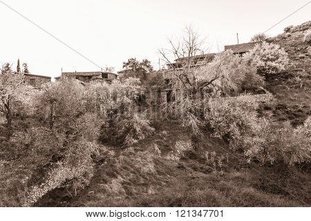 Blooming almond trees in Fikardou village- sepia toned