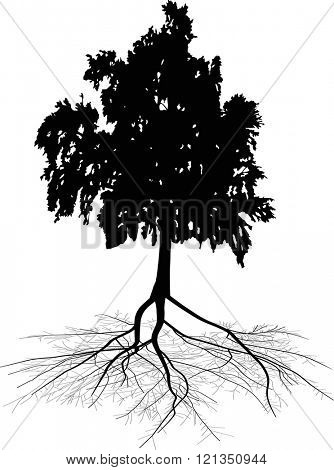illustration with black birch and root isolated on white background