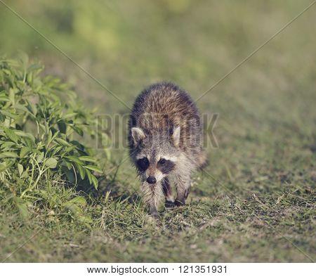 Young Raccoon Walking in Florida Wetlands