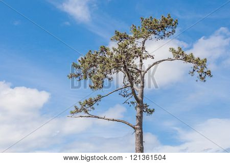 Lone Pine Tree Against Beautiful Blue Sky Background.