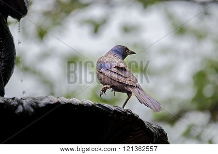 Common Grackle Bathing in a Water Fountain