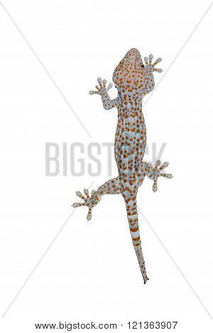 Isolated gecko on white background