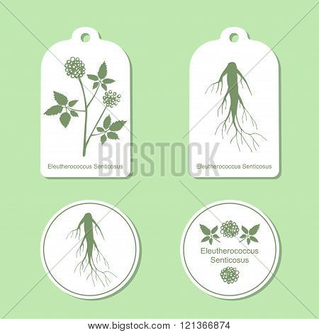 Silhouette of eleutherococcus senticosus with leaves.  Medicinal plant. Healthy lifestyle. Vector  I