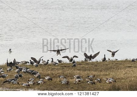 Variety Of Birds On Shore Including Canada Goose, Widgeon And Teal