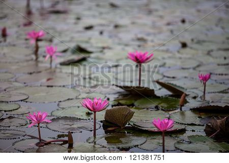 Red Lotus Lake Unseen In Udon Thani, Thailand