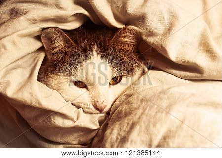 siberian cat close up monochrome portrait wraped in blanket