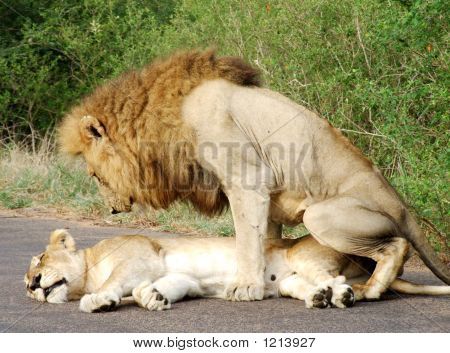 Lionmating