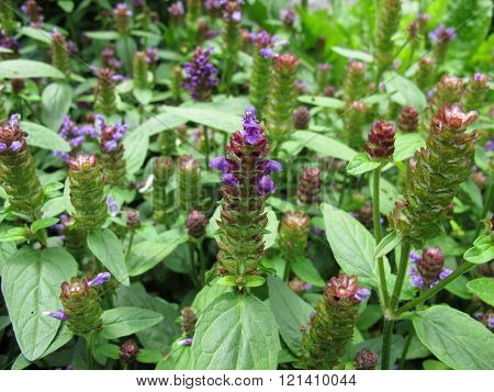 Common self-heal, Prunella vulgaris