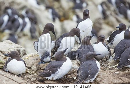 Guillemots at the Farne Islands in Northumberland ** Note: Visible grain at 100%, best at smaller sizes