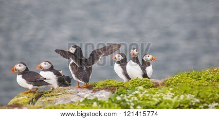 Puffins At The Farne Islands In Northumberland