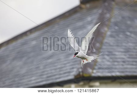 Atlantic Tern At The Farne Islands In Northumberland