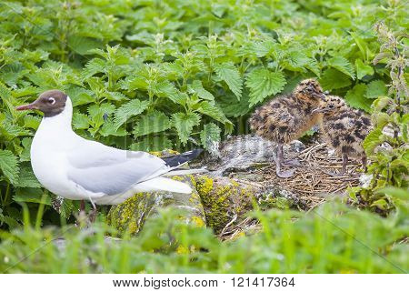Atlantic tern chicks at the Farne Islands in Northumberland