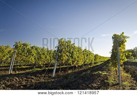 Harvesting Period In The Vineyard, Karnobat, Bulgaria