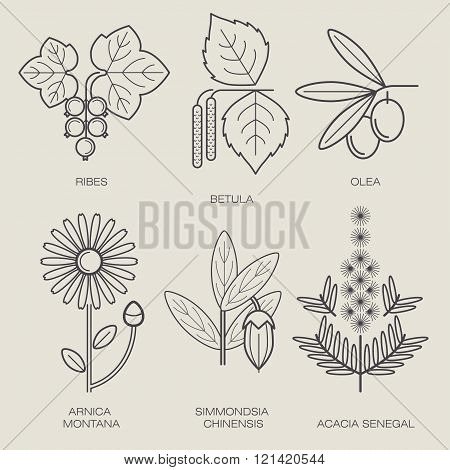 Set vector icons medical herbs and plants. Plant currant, birch, plant olive tree, flower, arnica, jojoba plant, plant acacia. Healthy lifestyle concept. Design to create logo, labels, stickers, Web.
