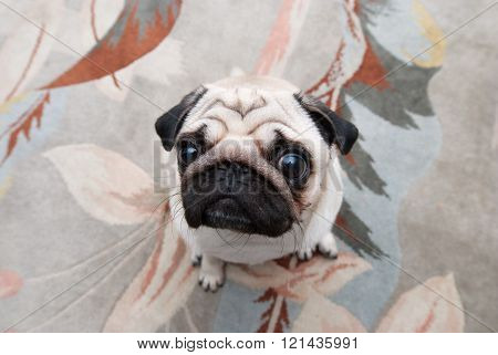 Pug on the background of the carpet. Pug - top view