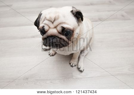 Sad pug sitting on the floor. View from above.