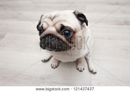 Funny pug sitting on the floor. View from above.