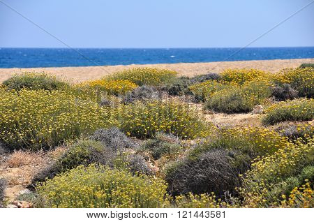 modest groundcovering plants in spring on greek island mykonos