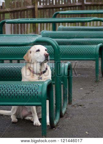 White Labrador waiting for his master outside restaurant