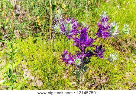 False Purple Thistle In Oklahoma