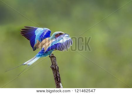 Lilac-breasted Roller In Kruger National Park, South Africa