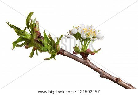 Blooming Twig