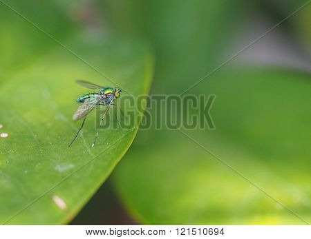 Long-legged Fly On Green Leaf Background
