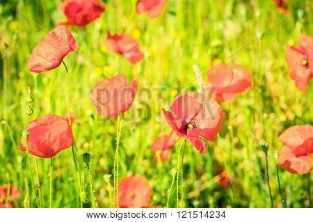 Red Poppies In A Summer Meadow On Sunny Day