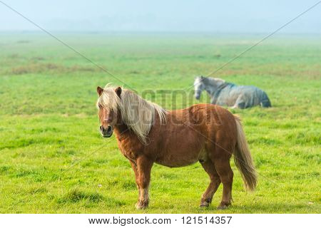 Chestnut Stallion Grazing On Green Grass