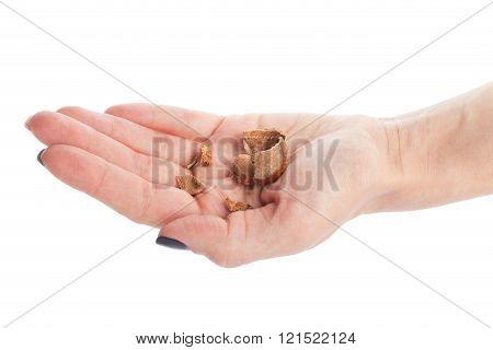 Hazelnut Nutshell In Hand Isolated On White