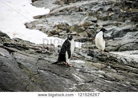 Adelie or pygoscelis adeliae penguins