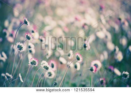 Spring marguerite flower