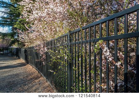 Blossoms And Fence