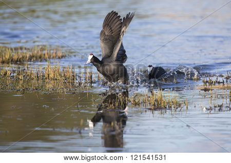 Two Red Knobbed Coots Chasing Each Other In Courtship
