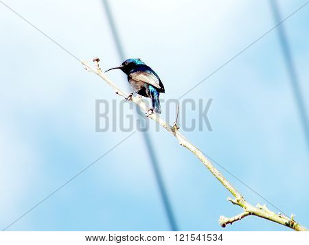 Palestine Sunbird on a branch of tree in Or Yehuda Israel