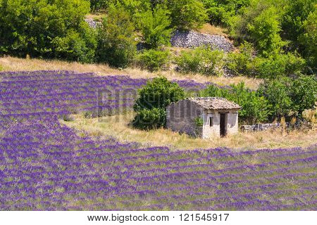 Old barn and rows of a beautiful purple lavender field ner town of Sault. Provence, France