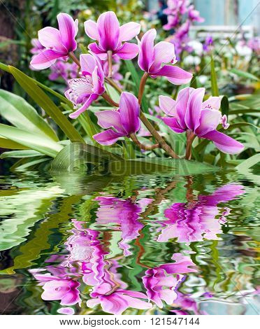 Close-up of pink orchid. Bouquet of flowers reflected in water
