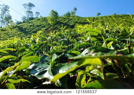 Indian tea plantation leafs at morning background