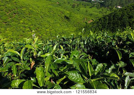 Leafs of tea at the indian plantation