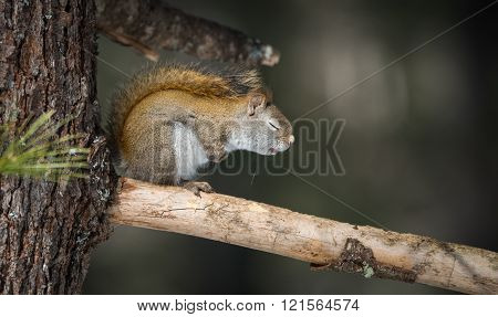 I falls asleep. Wake me up later.  Sleepy springtime Red squirrel with eyes closed.