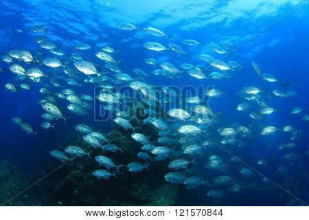 Bigeye Trevally fish (Jacks or jackfish)