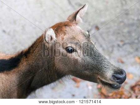 Hornless Roe deer close-up portrait animal photo