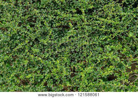 Fukien Tea Tree (carmona Retusa) Green Background