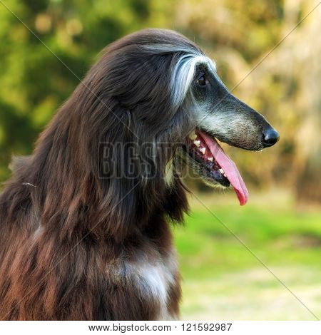 Dog Afghan Hound